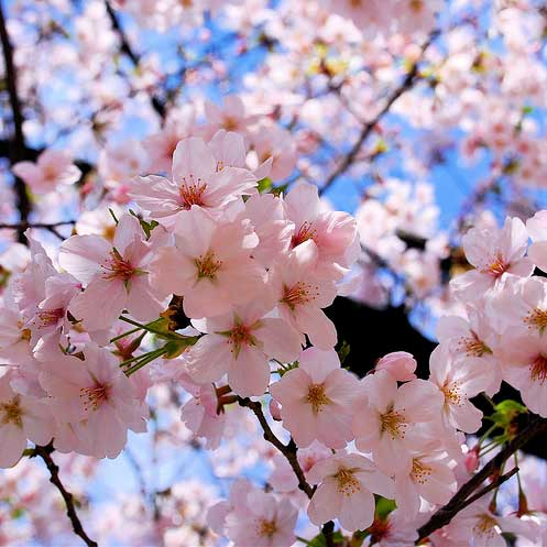Cherry blossoms, sakura,