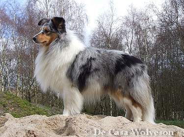 blue merle schotse collie te koop