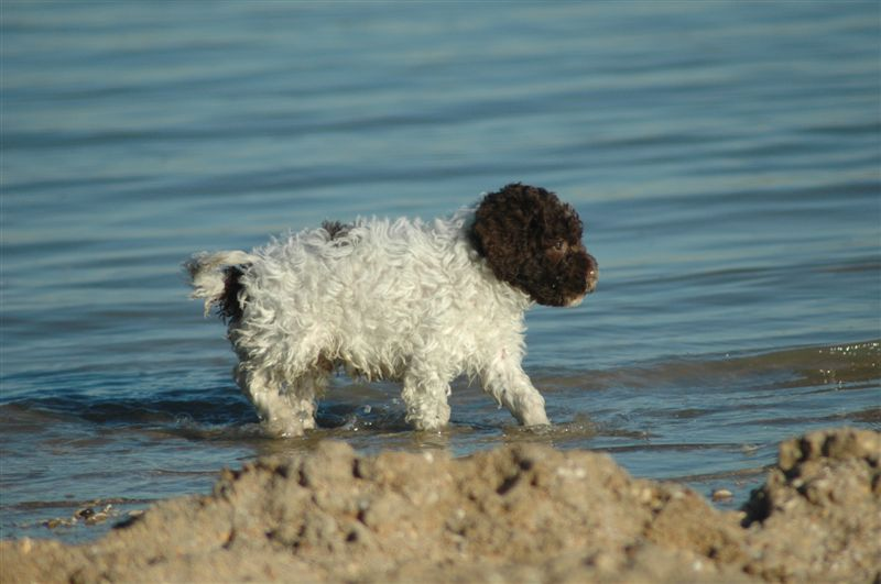 mark wouters lagotto