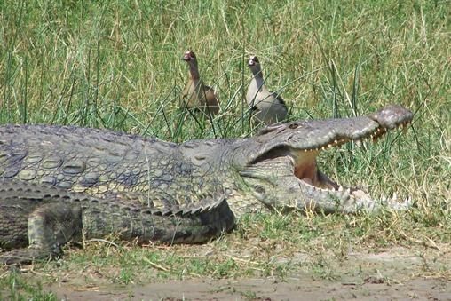 buffel dood krokodil